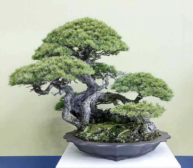 18568 besten bonsai bilder auf pinterest natur ficus for Bonsai hydrokultur