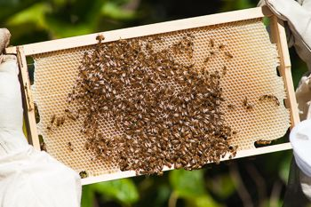At Australian beekeeper you will learn how to keep Australian native bees both for honey and enjoyment. I also have native bee hives for sale.