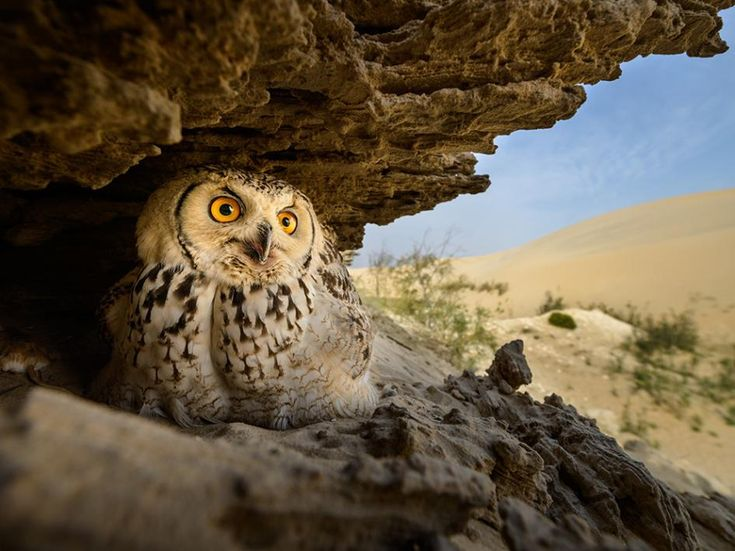 Picture of a pharaoh eagle-owl in a scrape