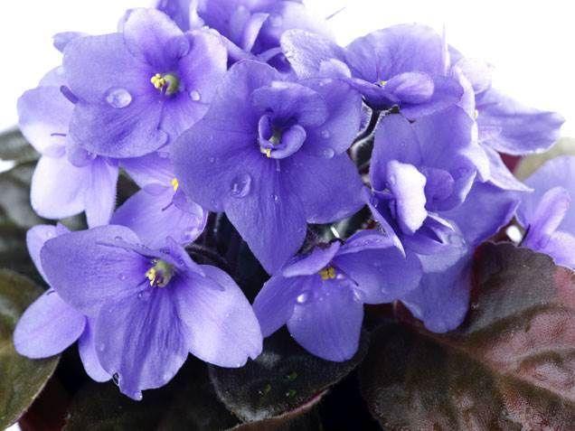 Flowering House Plants Purple best 25+ indoor flowering plants ideas on pinterest | low light