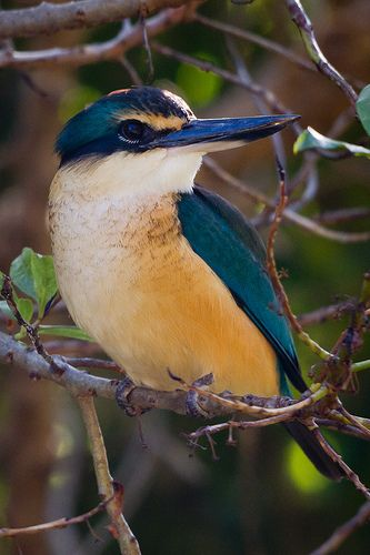 Sacred Kingfisher ~ Todiramphus sanctus, found in mangroves and woodlands in Australia and New Zealand and other parts of the Western Pacific