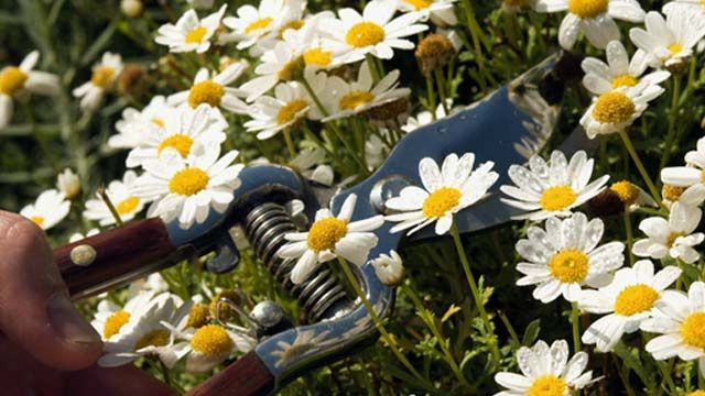 Sie gehören zu den klassischen Sommerbewohnern deutscher Gärten. Wer Margeriten überwintern möchte, muss einige Tipps beachten. Denn die sonnenliebende Blume reagiert empfindlich auf kalte Temperaturen und zu wenig Licht.Tipps zur Vorkehrung gege...