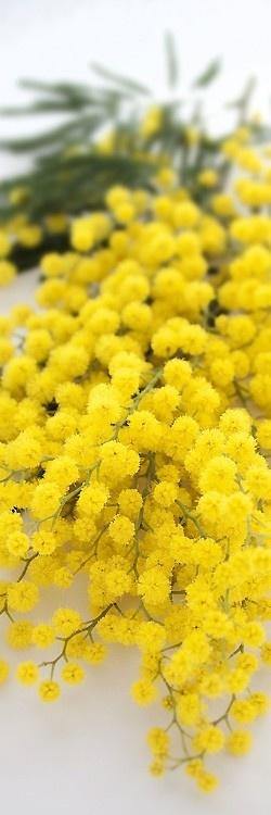 mimosa/acacia (Australian Wattle)