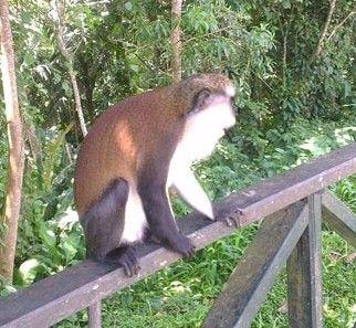 53 best grenada images on pinterest grenada island grenada grand etang national park grenada tours love the mona monkeys sciox Gallery