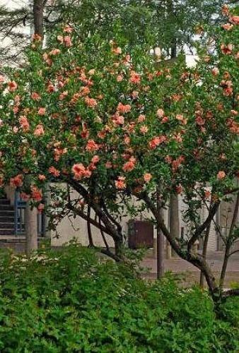 punica granatum legrelli grenadier fleurs arbres et. Black Bedroom Furniture Sets. Home Design Ideas