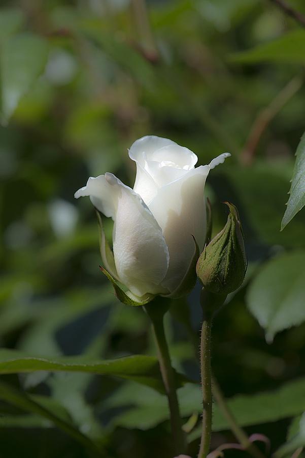 район картинка белы бутон розы будуаре