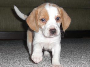 Lemon Beagle ... Just like Miss Maggie