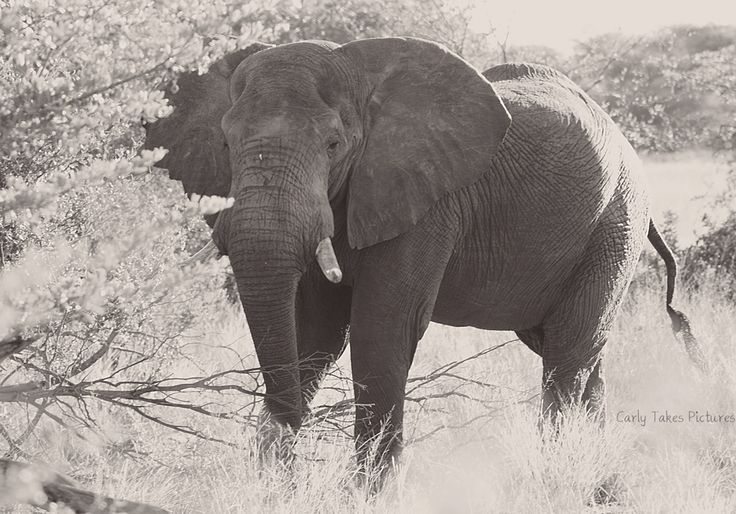 He knows us. We see him every week. Elephant in Mahango Game Reserve, Namibia. http://crossthatbox.com