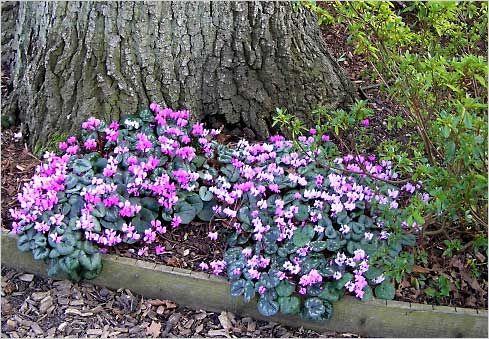 Цикламены / Cyclamen в саду Уизли