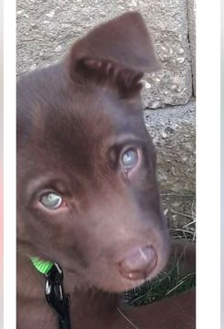 Labrador Retriever-Siberian Husky Mix dog for Adoption in SAINT LOUIS, MO. ADN-25187 on PuppyFinder.com Gender: Male. Age: Baby