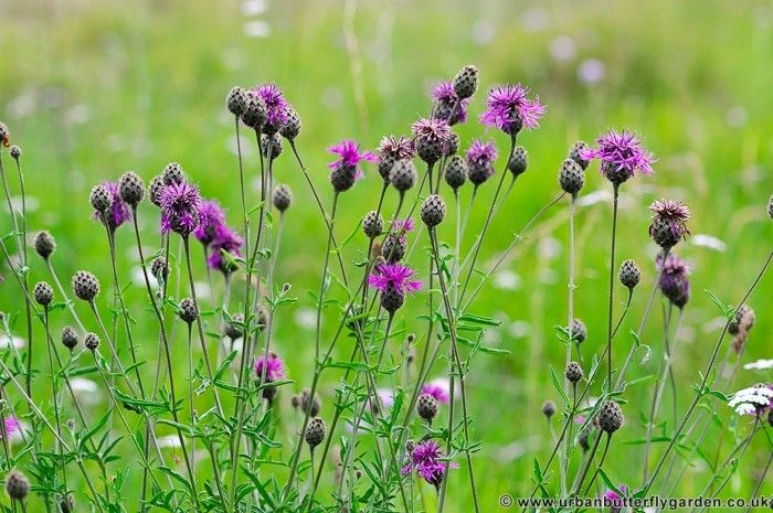 Centaurea scabiosa native plant – great knapweed - Google Search