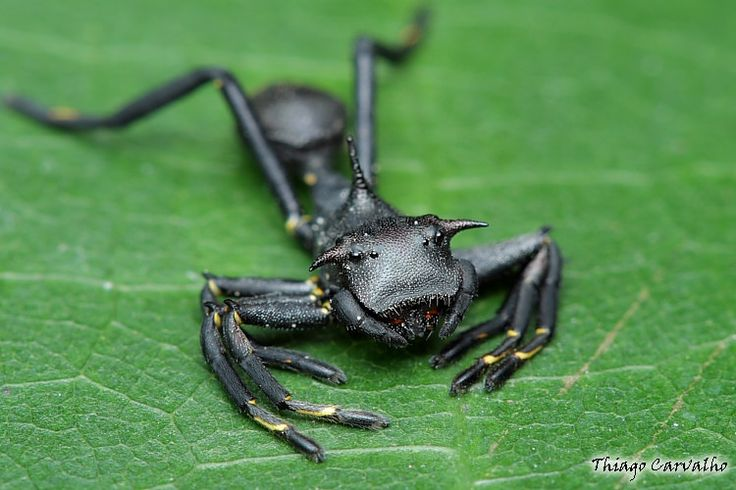 Aranha da família Thomisidae (Grab Spiders), Aphantochilus roguersi