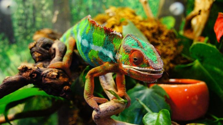 Chameleon-lizard that can change color according to the color of the environment-HD Wallpapers High Definition-1920×1200