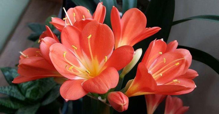 ENTRE PLANTAS Y MACETAS nos enseña los cuidados básicos de una de nuestras flores preferidas, las clivias.