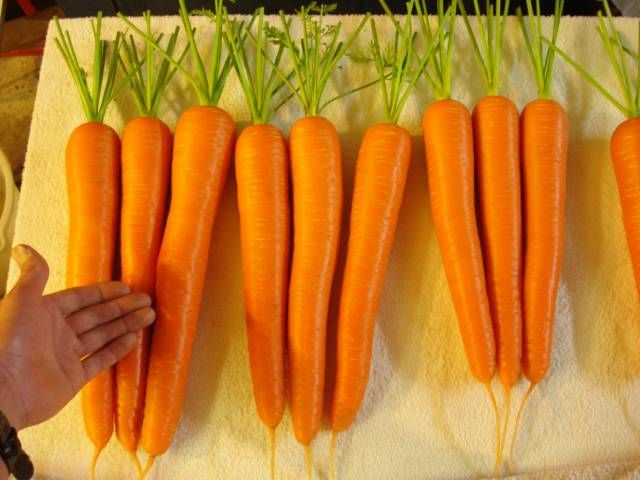 How to grow blue ribbon carrots. Soil mix recipe and techniques that make these babies possible.