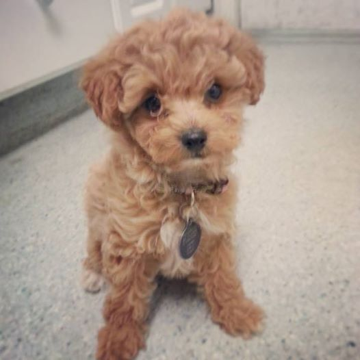 Pictures of Brown Maltese Poodle Mix - #rock-cafe