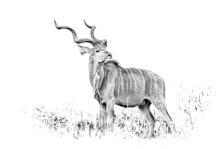 Kudu bull BW fine art print. Photographic image by wildlife photographer Dave Hamman