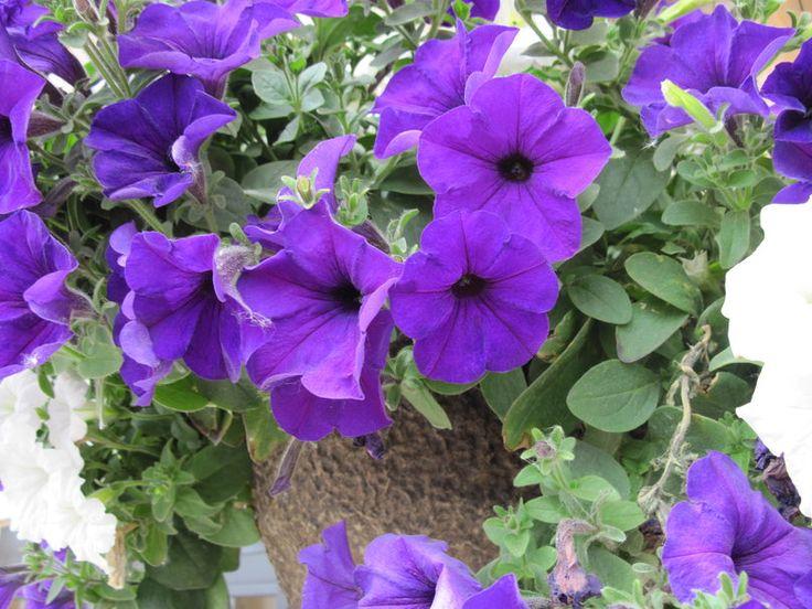 Dicas Para o Plantio de Petúnias | Flores - Cultura Mix