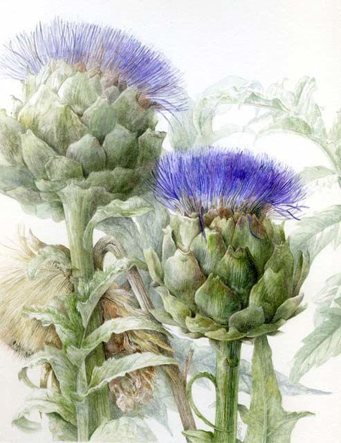 Elaine Searle植物绘欣赏