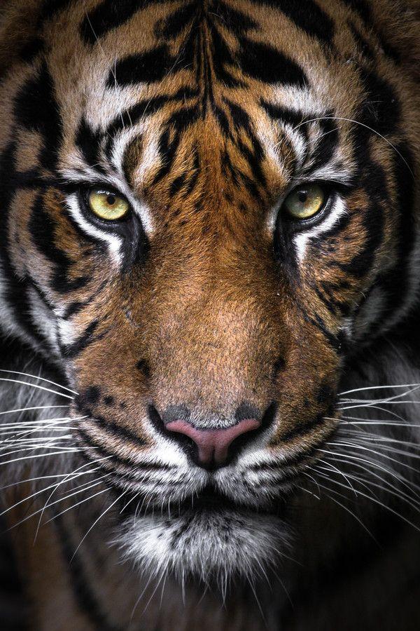 8k Animal Wallpaper Download: Sumatran Tiger Portrait By Gemma Ortlipp