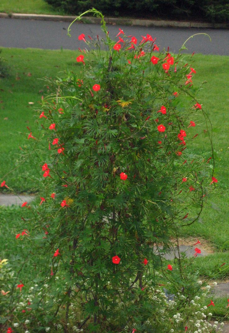 Cardinal Vine In Flower This Is A Lovely Annual In The