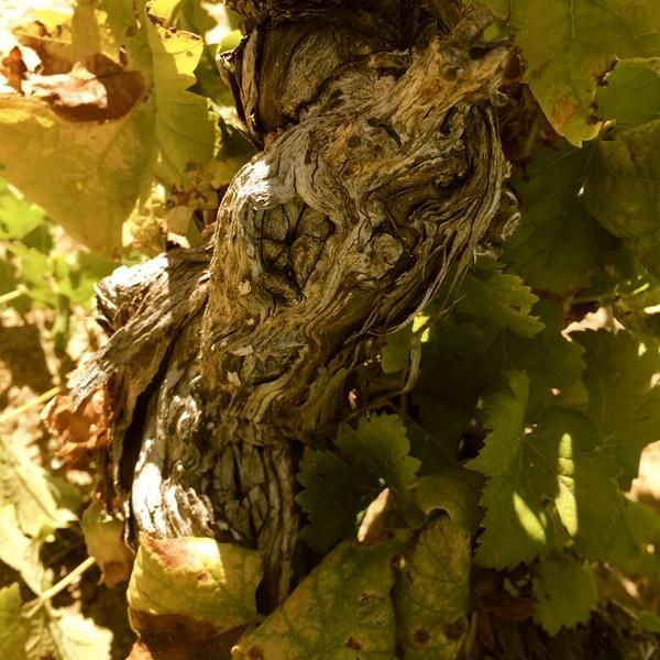 Beautiful old wood found in SA's oldest Sauvignon Blanc vineyard! #SpiceRouteAmosBlock #Swartland