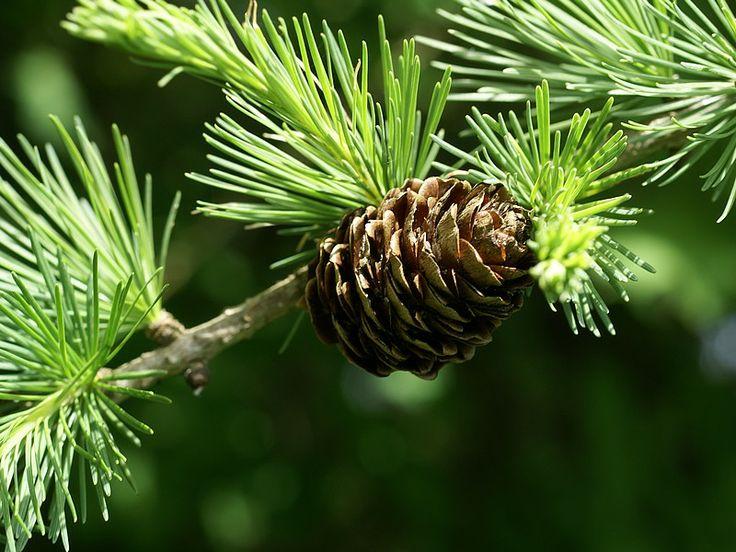 http://faaxaal.forumgratuit.ca/t3533-photo-de-pinacee-meleze-d-europe-meleze-commun-larix-decidua-european-larch-polish-larch