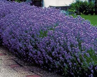 lavandula_angustifolia_dwarf_blue