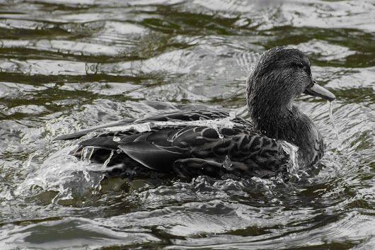 Ente #ente #duck #Colorkey