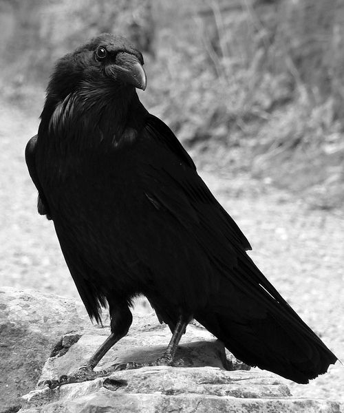Raven  - Pinned by The Mystic's Emporium on Etsy
