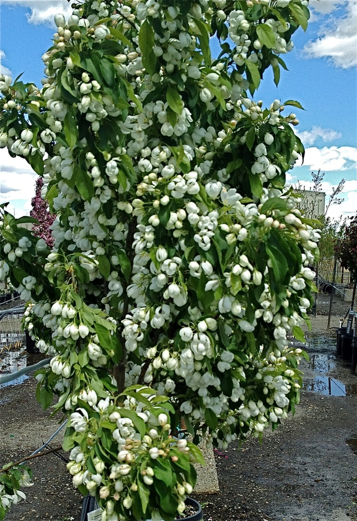 Spring Snow Crabapple in Bloom