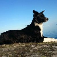 #dogalize Dog Breeds: Border Collie temperament and personality #dogs #cats #pets