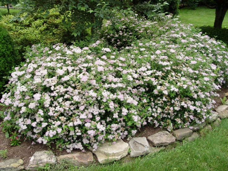 Spirea 'Little Princess' - this shrub grows into a plump little ball, is low-maintenance, heat and frost hardy, virtually indestructible, attracts butterflies, and best of all- the leaves turn an attractive reddish hue in the fall.