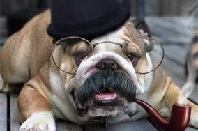Funny pictures of English Bulldogs - Bing Images