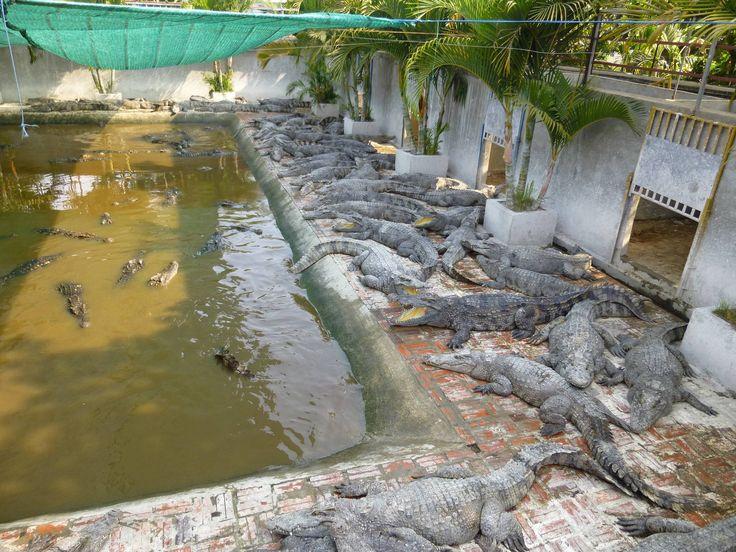 #CrocodileFarm in #Battambang #Cambodia. #Kambodscha #KrokodilFarm #Crocodile #Krokodil