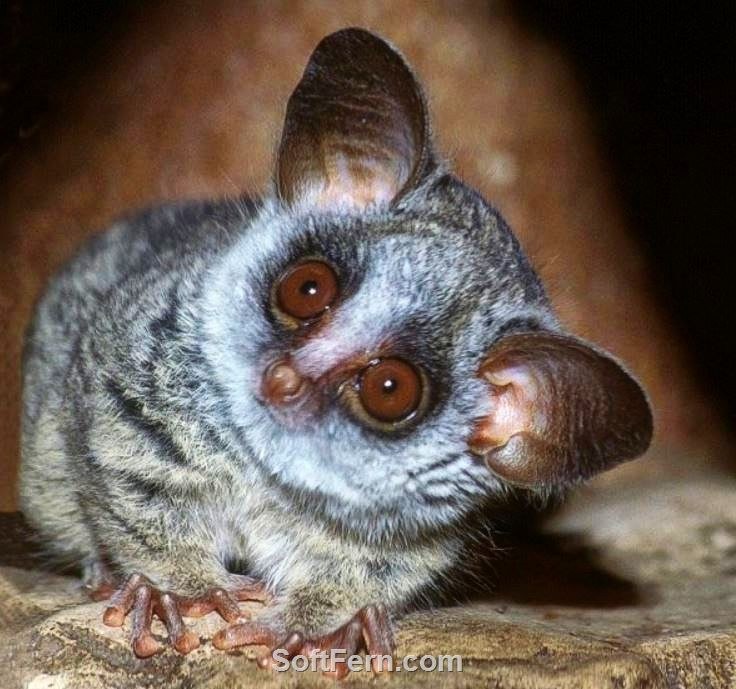 Nello, Bush Baby...        Cute animals. ... 23  PHOTOS        ... Those cuties will make you smile…        More details:         http://softfern.com/NewsDtls.aspx?id=1111&catgry=15            SoftFern News, dolphins, Cute animals., Fennec Desert Fox, Tapir, cute spotted creature, Sand Cat, Peacock, Peafowl, Bush Baby, Galagos, Dolphin Calf, Golden Brushtail Possum, Lemur, Cute panda, Cute panda babi