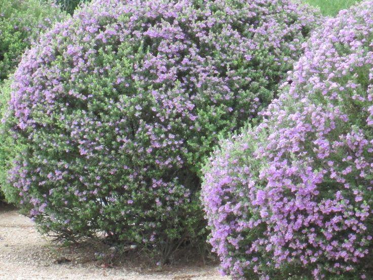 96 best drought tolerant gardens images on pinterest for Purple flower shrub california