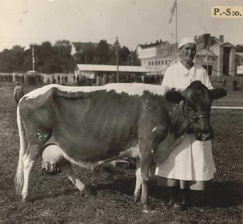 """Nro 132 28/8 -34. """"Ralli"""", palkittu lehmä. Omist. velj. Sonninen, Lapinlahti."""