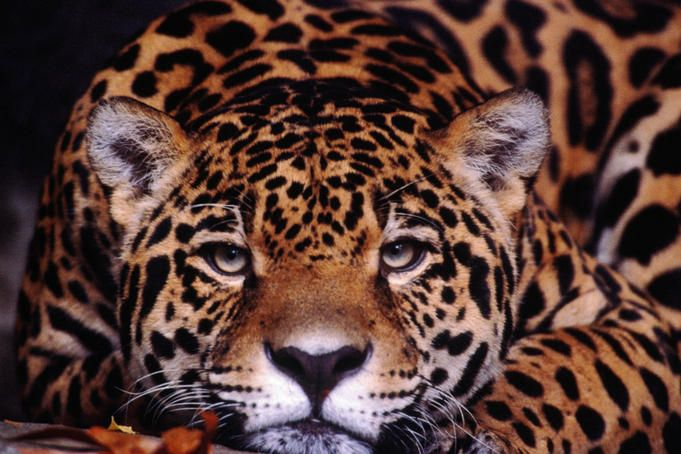 Jaguar of Brazil