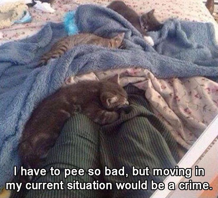 22 Funny Animal Memes And Pictures Of The Day can't move kittens on lap cuteness overload nailing to bed