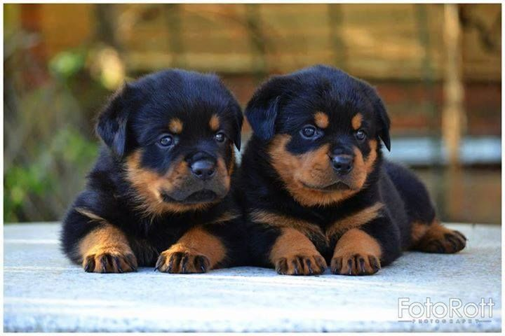 101 Resources Stacked Stone Tile House Rottweiler Puppies