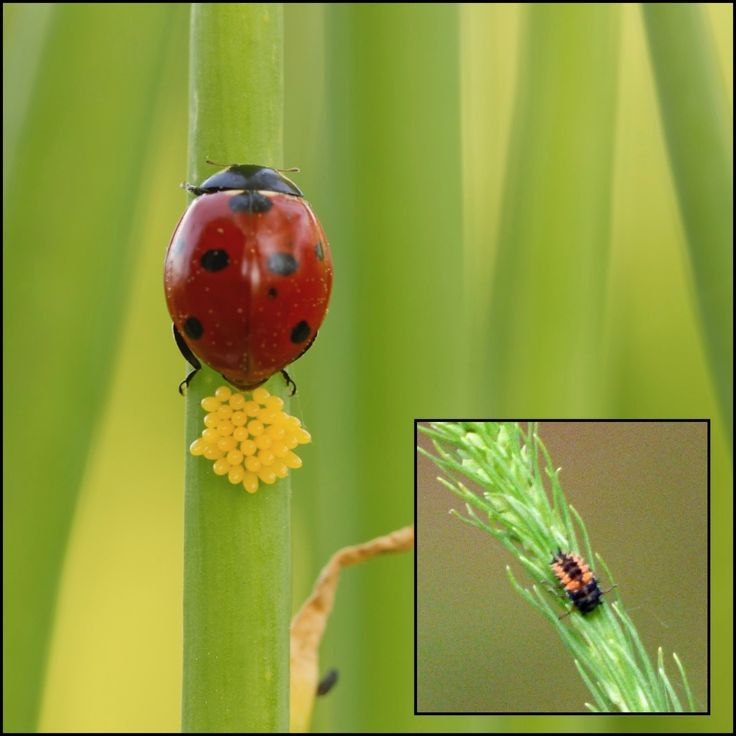 61 best beneficial garden friends images on pinterest - Identifying insect eggs in the garden ...