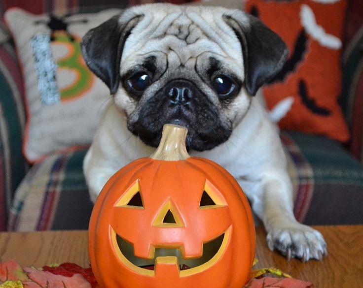 Curious Boo Lefou the Pug and a Pumpkin #pug #puppy #dog #Halloween #pumpkin #cute #pets