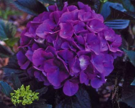 I want this color hydrangea in my bouquet! soooo pretty!