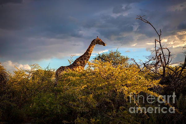 Giraffe in Namibia, Africa, in Etosha National Park. Dramatic sky with stormy clouds with beautiful light of setting sun..
