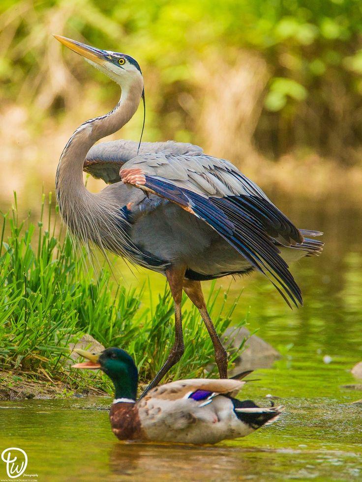 Heron and mallard