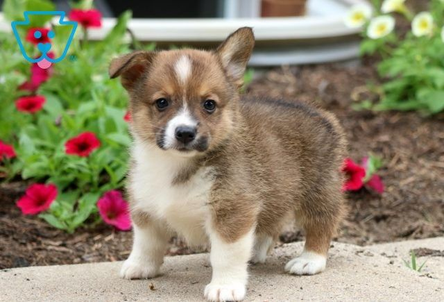 Frankie Pembroke Welsh Corgi Puppy For Sale Keystone Puppies In 2020 Corgi Puppies For Sale Welsh Corgi Puppies Pembroke Welsh Corgi Puppies