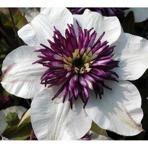 clematis florida bicolor