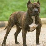 Gov't of Ireland Restricted Dog Breed Information. Also see http://www.irishstatutebook.ie/eli/1998/si/442/made/en/print