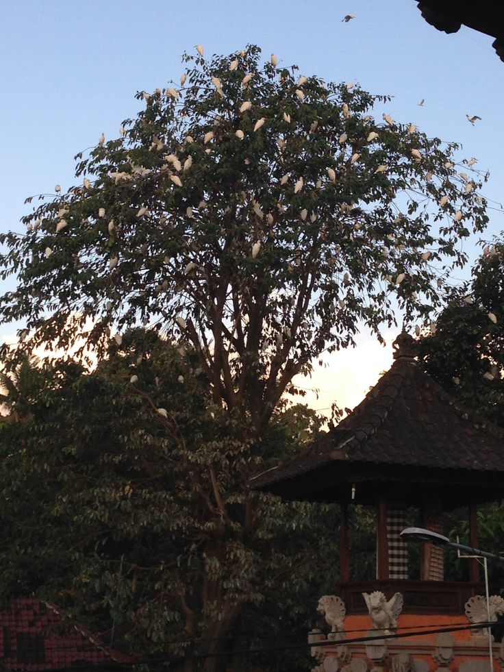 DAY 11: at sunset we headed to Petulu, 30' drive from Ubud, to watch the Herons which gather there